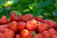 mehr zu Oberkircher Erdbeerfest