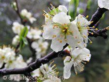 Kirschblütenzauber in Mösbach